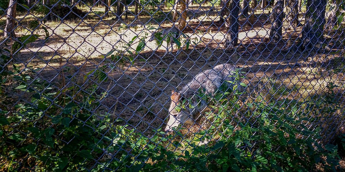 Loups du Gevaudan Lozère Aubrac