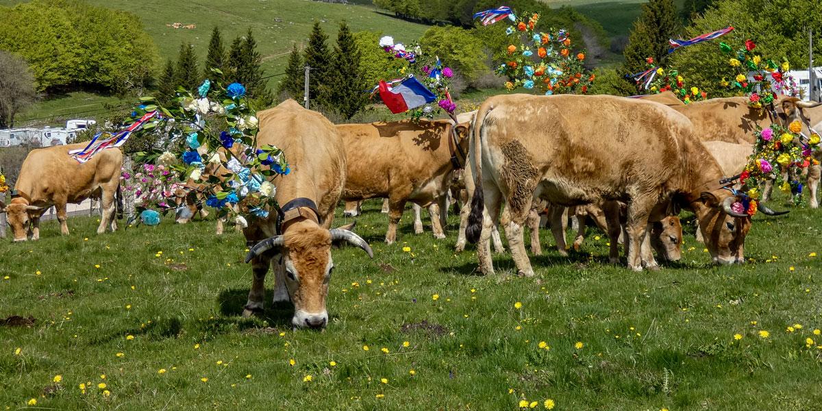 Transhumance Vaches Aubrac
